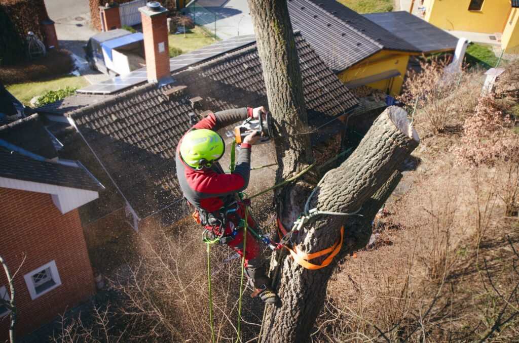 Tree surgeon up a tree cutting the top off.