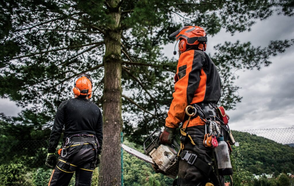two tree surgeons with chainsaws planning to cutting a tree