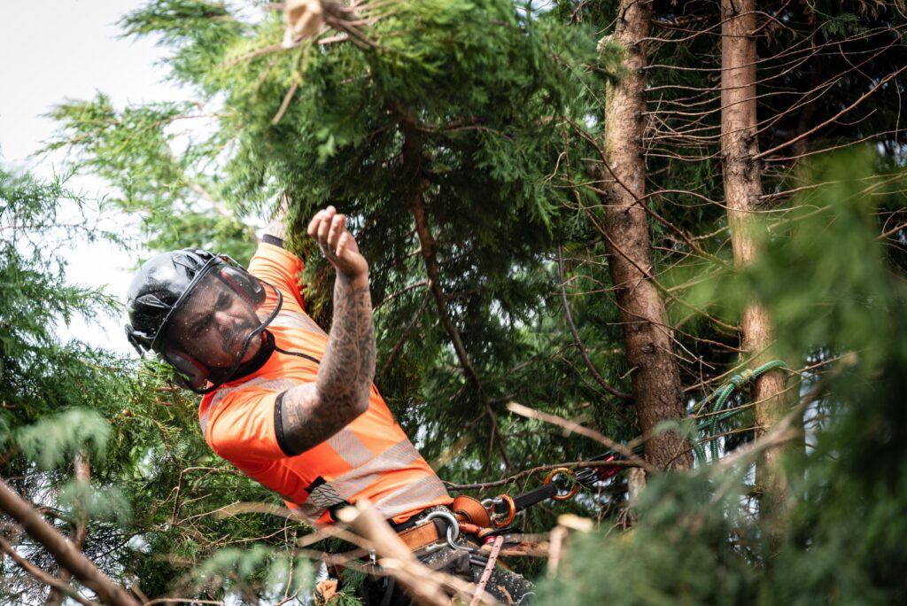 Tree surgeon hanging from ropes in a tree,
