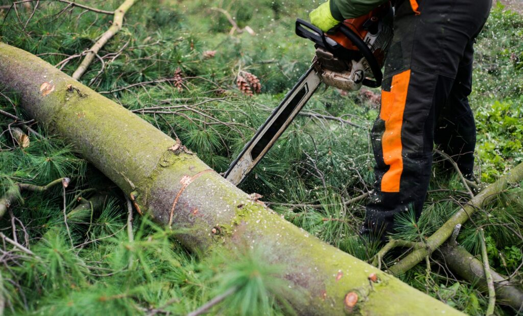 A tree surgeon with chainsaw cutting a tree,